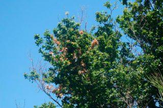 Areeiro urxe a retirada de pólas secas dos carballos
