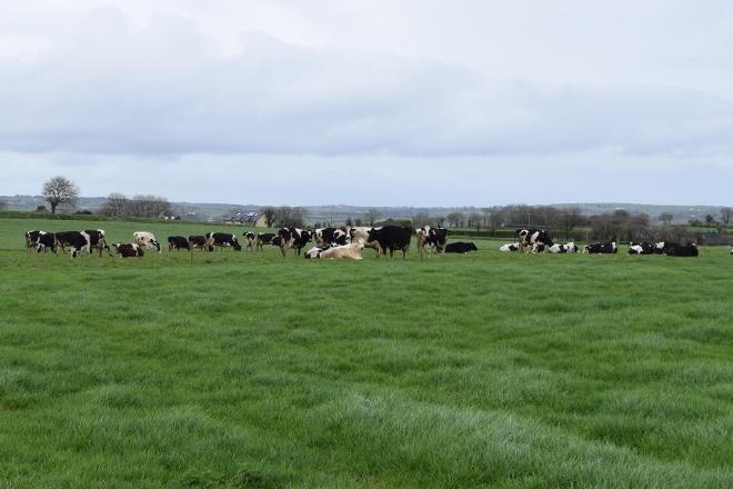vacas pasto Irlanda