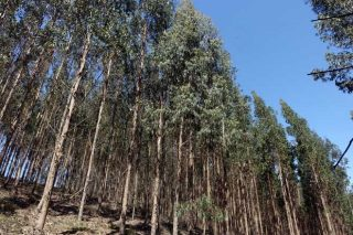 O gorgullo, ¿unha ameaza para o eucalipto que está baixo control?