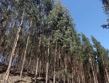 Charla sobre como mellorar a produtividade das plantacións forestais de eucalipto