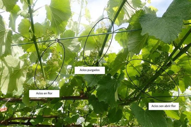 Cuidados del viñedo: Recomiendan tratar contra el mildiu y contra el oídio
