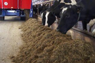 Como conseguir que as vacas aproveiten mellor a ración e evitar que escollan o penso?