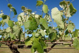 Areeiro advierte de un periodo de mayor riesgo en las viñas