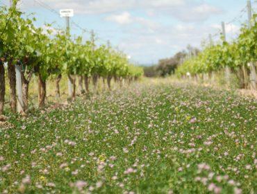¿Cómo influyen las cubiertas vegetales en el rendimiento y la calidad de la uva?