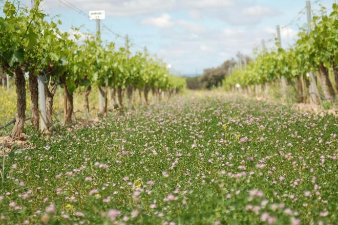 ¿Como inflúen as cubertas vexetais no rendemento e a calidade da uva?