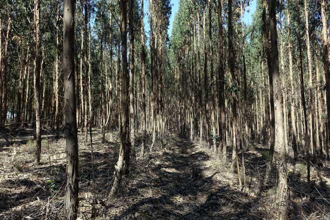 Plantación clonal de Navigator en Portugal, con control do mato e loita biolóxica contra a praga do gorgullo.