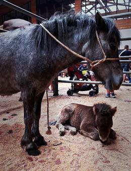 Os cabalos para vida acadan un prezo medio de 1.275 euros na Feira Cabalar da Ascensión