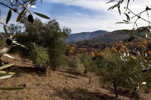 Variedades tradicionais de oliveira en Ribas de Sil. FOTO: MANU DIBUJA