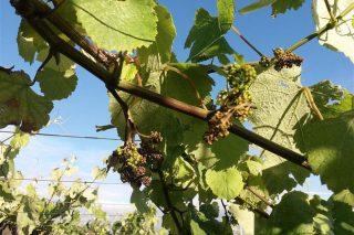 Coidados do viñedo: Recomendan tratar contra o mildiu e contra o oídio