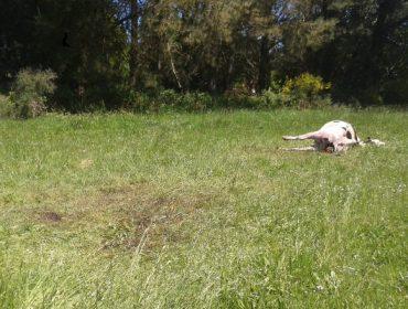 Nuevo ataque de los lobos a una ganadería de Friol