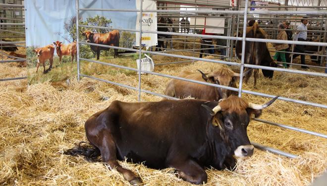 A Semana Verde estrea concursos morfolóxicos de razas autóctonas de cabra e ovella