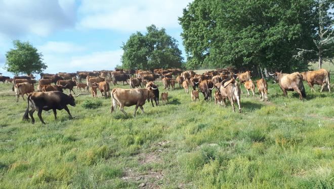 Jornadas formativas en A Veiga sobre iniciación y mejora de la ganadería de vacuno de carne
