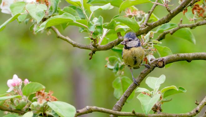 Aves aliadas no control de pragas: o caso das maceiras