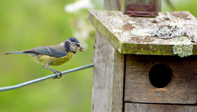 Herrerillo-comun-ceba-polluelos_-con-larvas-de-gorgojo-de-la-manzana.-Foto.-Marcos-Minarro-