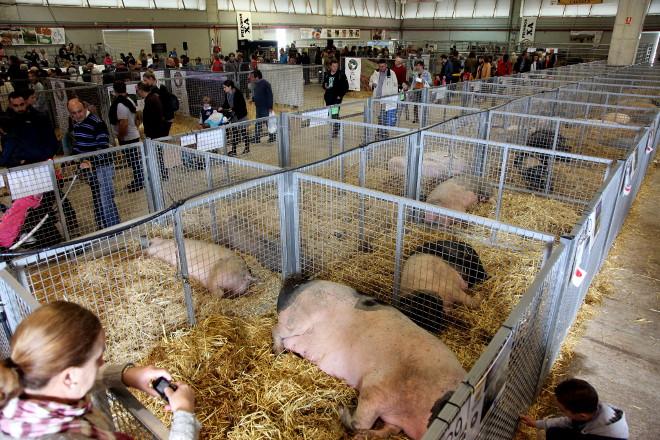 Exposición da raza porco celta en Abanca Semana Verde 2018
