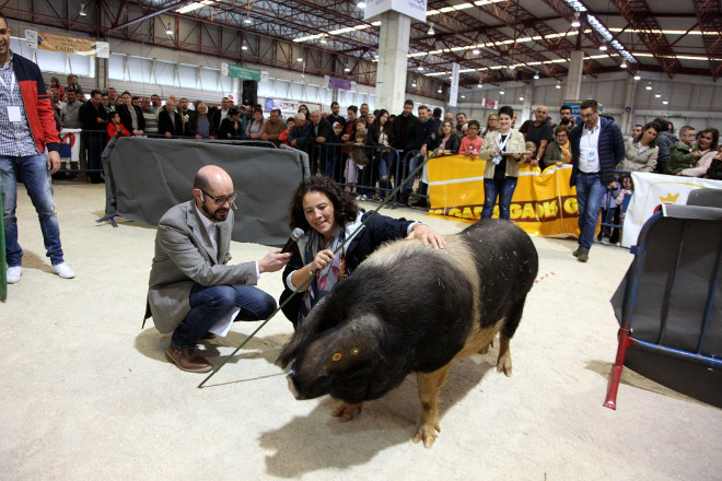 Os mellores porcos celtas e os gandeiros máis hábiles no seu manexo decidiranse na feira Abanca Semana Verde de Galicia