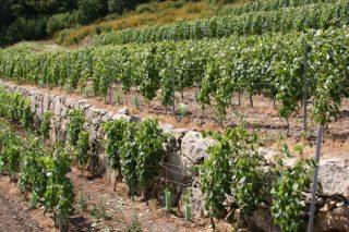 "Xornada formativa en Ribadumia sobre ""O futuro da viticultura"""