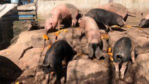 Porco-celta-cabaza-Tres-Fucinhos-
