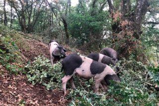 Jornada técnica del Porco celta en Galicia