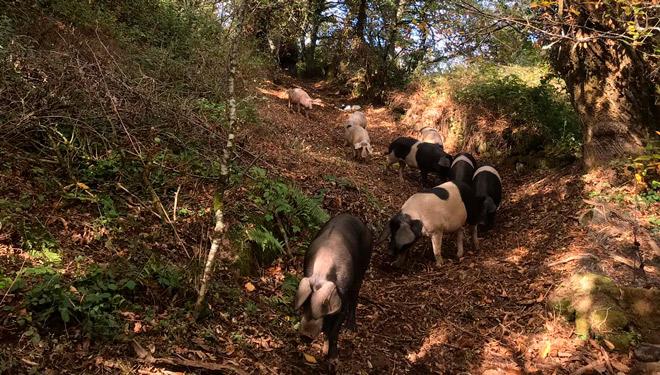 Tres Fuciños, unha cooperativa quilómetro cero da carne de porco celta