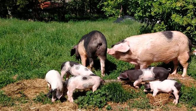 Tres-Fucinhos-cerdo-celta-y-leitons-