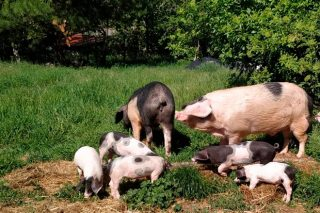 Claves para unha boa alimentación do Porco Celta