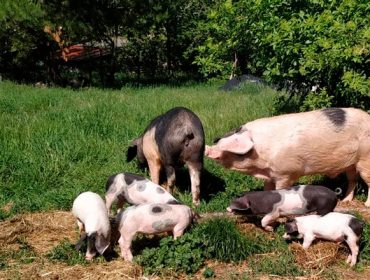 Claves para una buena alimentación del Cerdo Celta