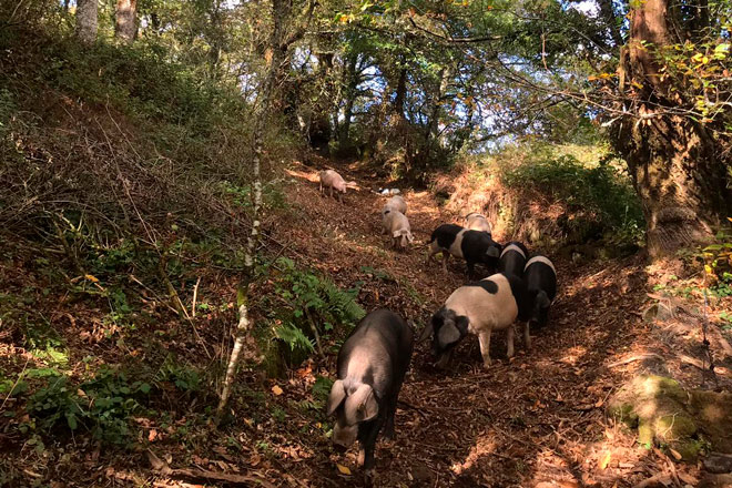 Jornada sobre la crianza de Porco celta en robledas y sotos
