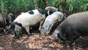 Tres-fucinhos-porco-celtas-landras-no-monte-