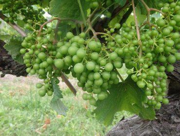 Aconsellan controlar a vexetación no viñedo para combater o mildeu
