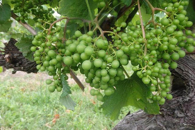 Aconsejan controlar la vegetación en el viñedo para combatir el mildiu