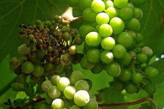 Areeiro advierte de una alerta elevada en los viñedos por oídio