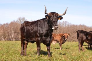 A ONU distingue a Galicia pola recuperación da raza Caldelá