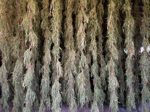 Proceso de secado da faba, colgada e a escuras