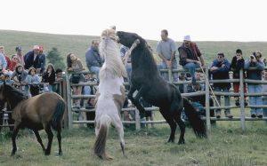 Loita de garañóns en Candaoso nunha edición anterior