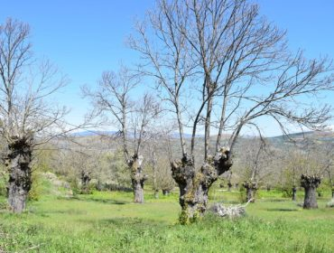 Xornada este sábado en Cerceda sobre cultivo do castiñeiro