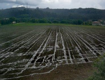 Preocupación pola colleita de millo forraxeiro debido ao frío e á chuvia