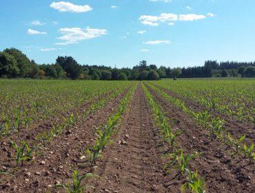 ¿Como reconocer las carencias nutricionales del maíz?