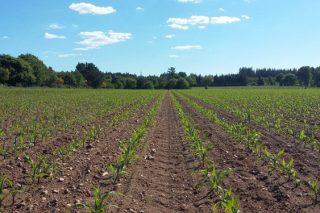 Control de pragas e malas herbas en millo: a estratexia de Kenogard