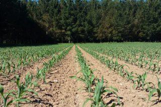 Erros máis comúns a evitar na sementeira do millo