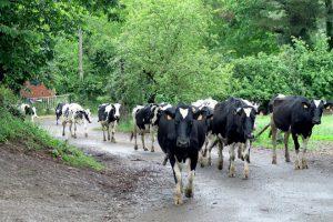 As vacas da Gandeiría Portela volvendo do pasto