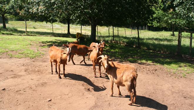 Cabrizanca-cabras-grupo-