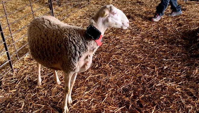 Dispositivo-cercado-virtual-ovella-