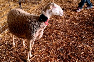 Un cercado virtual para controlar el ganado en extensivo sin vallas ni pastor