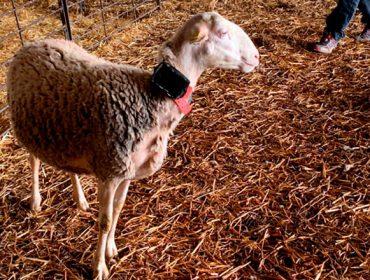 Un cercado virtual para controlar o gando en extensivo sen valados nin pastor