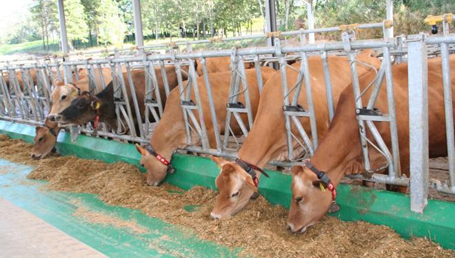 A SAT ten en muxido unhas 130 vacas Jersey.