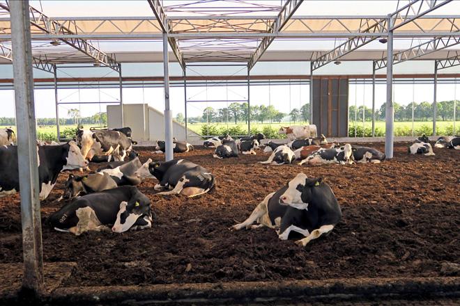 Vacas de produción en cama fría de compost na gandería Lagendijh, en Holanda