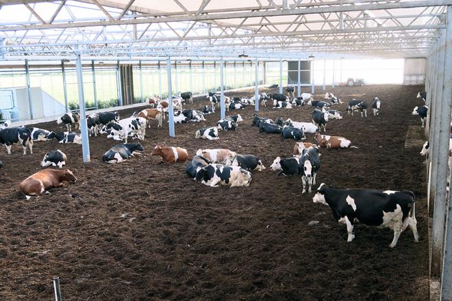 É unha nave aberta na que non hai cubículos nin cornadiza e as vacas están en cama fría de compost
