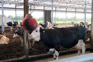 Que medidas claves melloran o benestar nas granxas de vacún de leite?