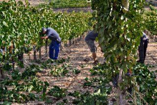 Consellos para realizar correctamente o esfollado da viña